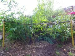 jardin,bambou,bambous,phyllostachys vivax aureocaulis,shiroshima,phyllostachys aureosulcata spectabilis