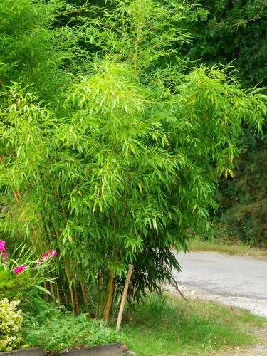 jardin, ginkgo biloba, bambou, sasa veitchii