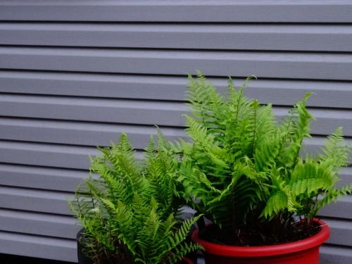 jardin,printemps,printemps 2015,bambou,fargesia jiuzhaigou,fargesia robusta campbell,phyllostachys vivax huangwenzhu