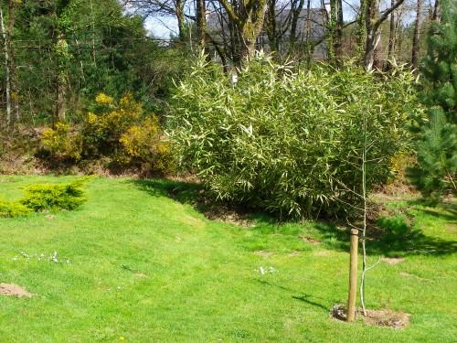 jardin,arbre,printemps,ginkgo biloba