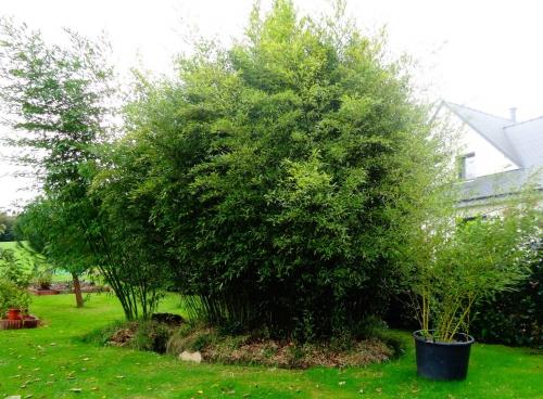 Bambou l 39 esp ce de blog for Phyllostachys aurea en pot