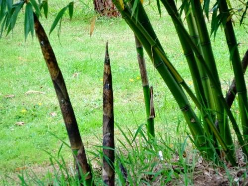 jardin,printemps,printemps 2015,bambou,fargesia jiuzhaigou,fargesia robusta campbell