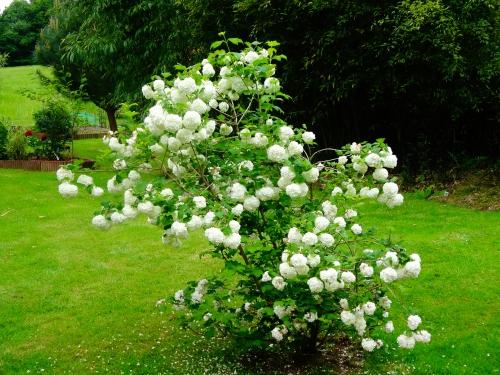 jardin,printemps,printemps 2015,bambou,fargesia jiuzhaigou