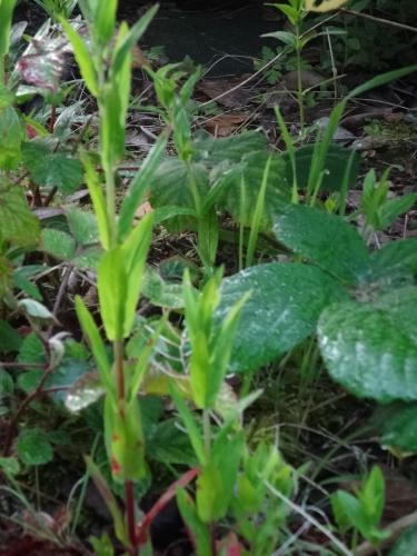 mauvaise herbe,adventice,jardin