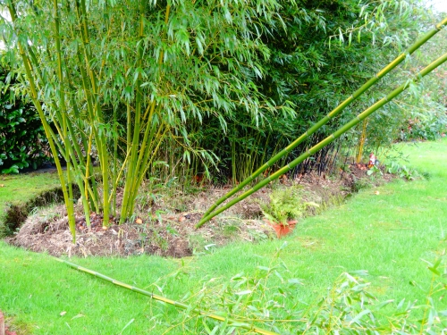 bambou, phyllostachys vivax 'huangwenzhu'