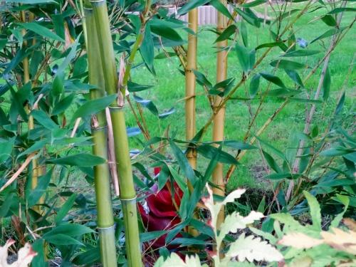 phyllostachys viridis sulfurea